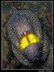 Yellowmouth Moray. Blamed in a recent finger biting incid... by Brian Mayes